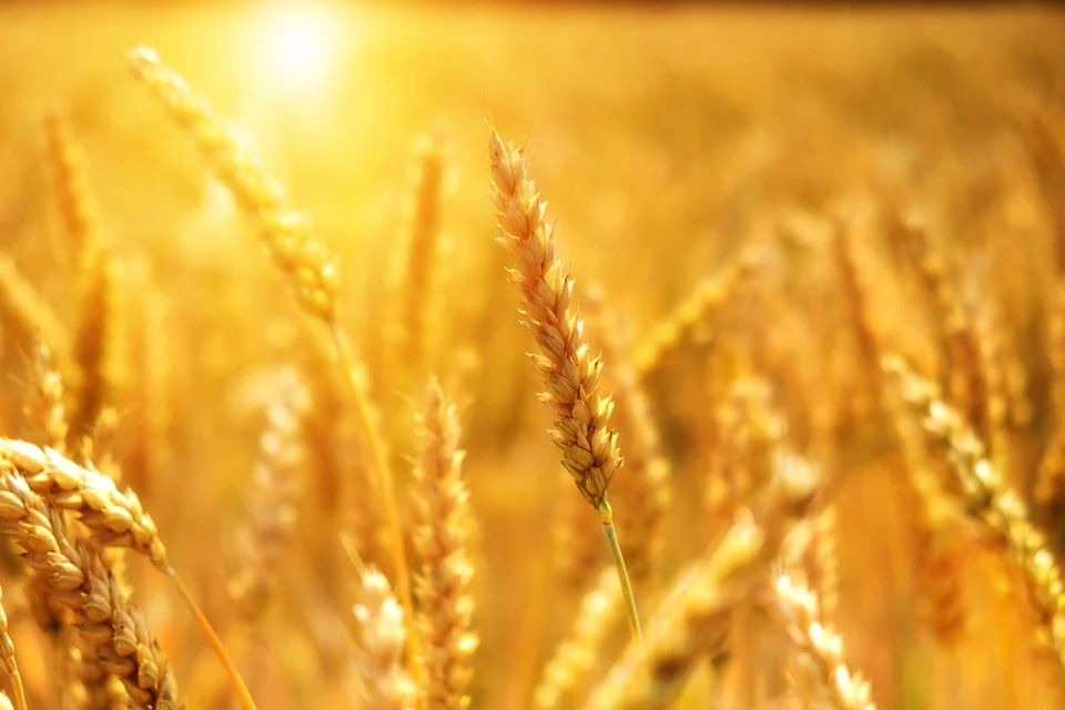 Picture of Grain for Ruth