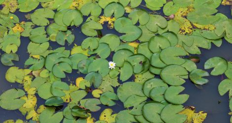 Pictures of Flower in Lily Pads